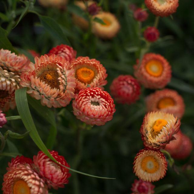 floret_strawflower_peach_670b0424-640x640